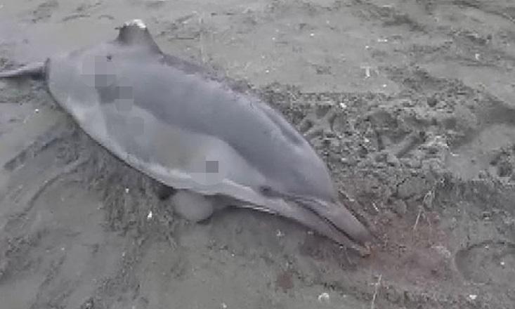 Yer Sakarya! Kıyıya Vuran Yunus Balığını Kurşunladı!